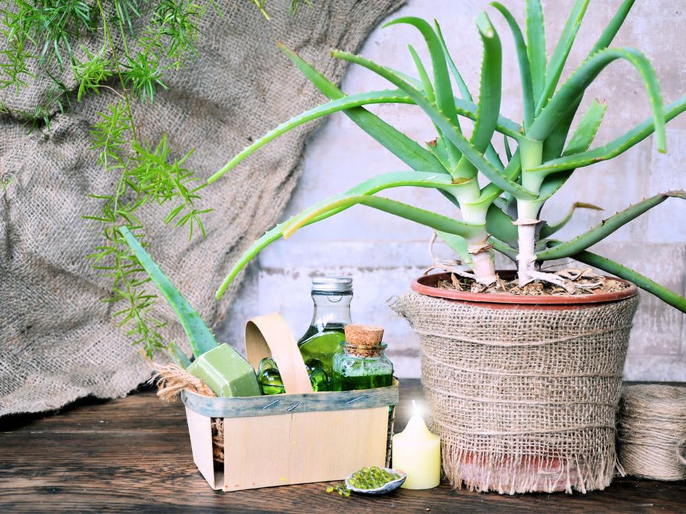 Manfaat Kaktus