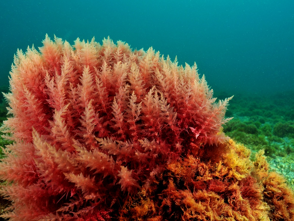 Kandungan dan Manfaat Alga Merah
