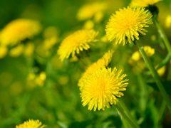 Manfaat Bunga Dandelion