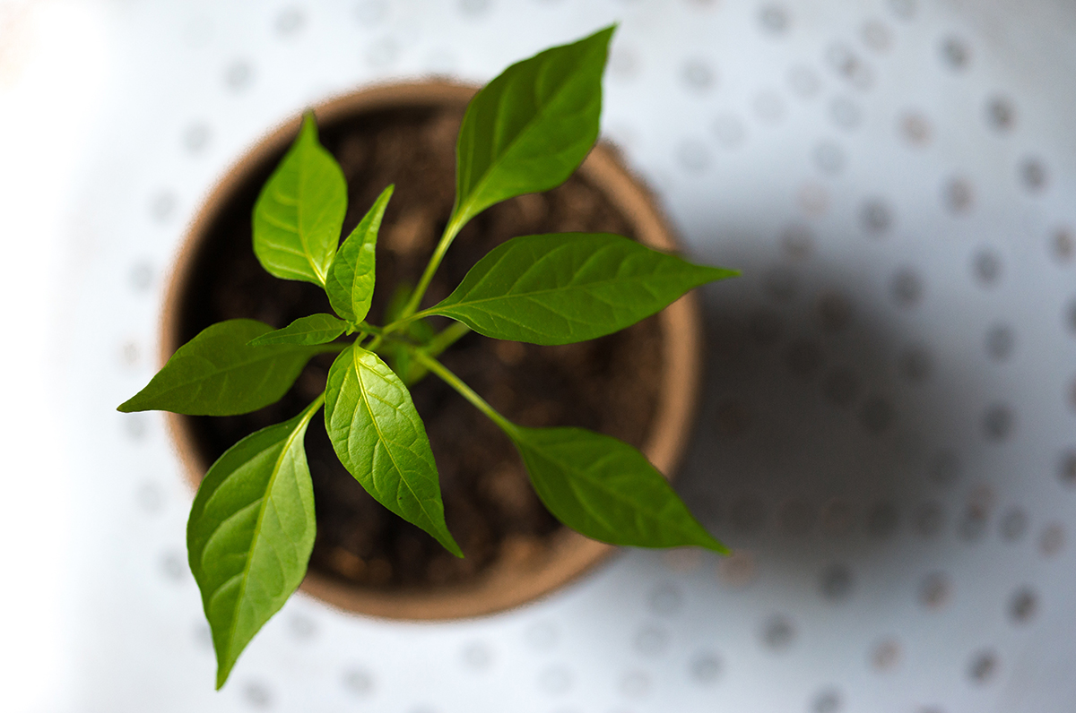 squarerooms-plant-small-top-view-green-herb-grow