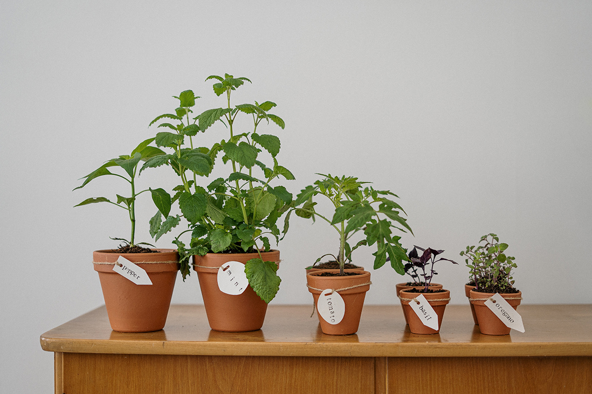 squarerooms Cottonbro Pexels herbs pots planters plants indoor table