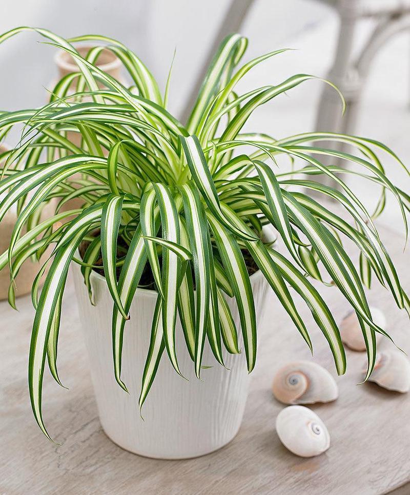 Spiderplant Care: 6 Pokok Hiasan Dalaman Mesra Haiwan Untuk Kediaman Anda