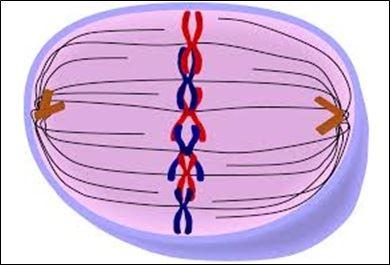 Mitosis- Metaphase