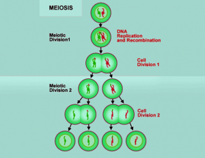 Meiosis 1 the different phases of meiosis 1 cell division meiosis i ccuart Image collections