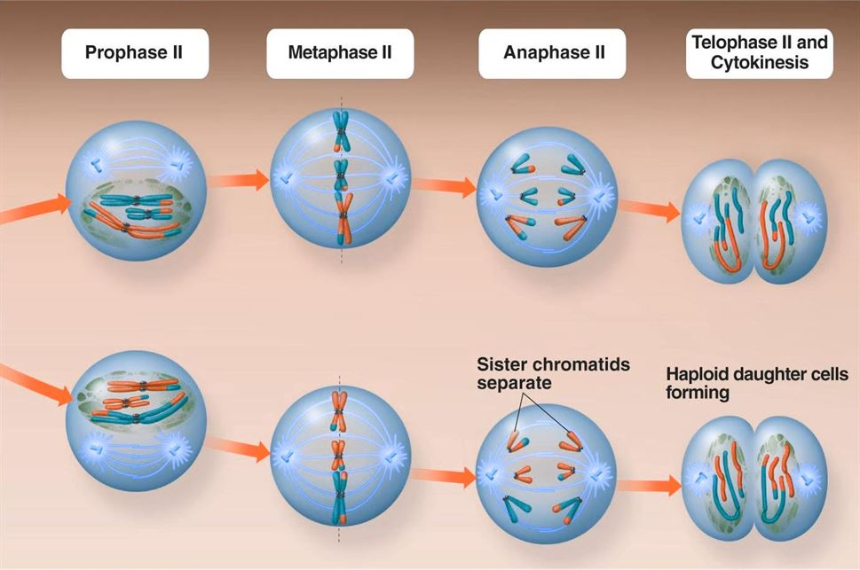 Simple Mitosis Stages Simple Meiosis Stages ...