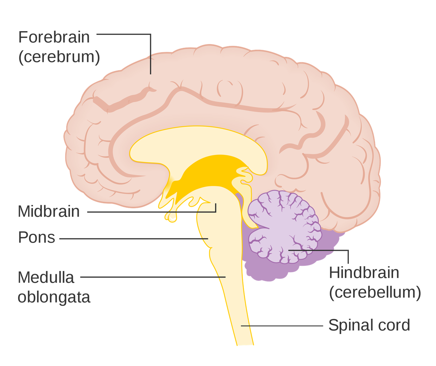 Simple Brain Diagram Cerebrum - Auto Electrical Wiring Diagram •
