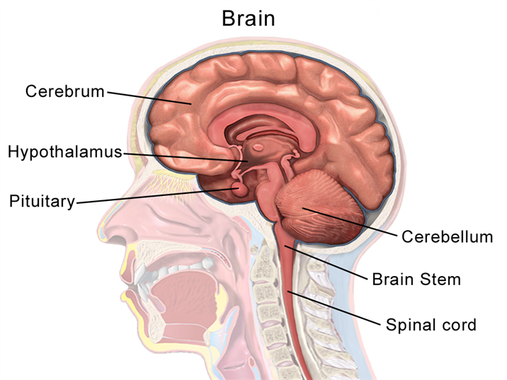 Human Brain - Structure and Functions of Human Brain