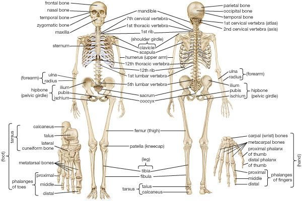 Human Skeletal System Parts Muscles Skeleton And Locomotion
