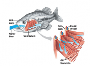 Respiration in fish aquatic respiration how do fish for Do all fish have gills