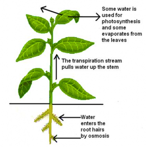 Excretion in Plants- An overview of Transpiration and its ...