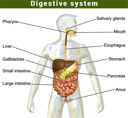 a study of the digestive systems Digestive system tour lab page 2 adam video clip: digestion fill in the blanks food is digested by the churning of the stomach walls and by secretion.