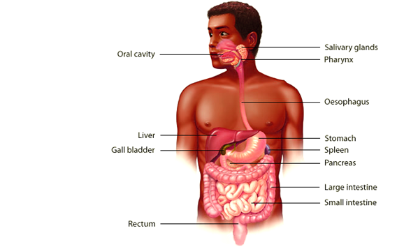 Anatomy and Physiology of Human Gastrointestinal Tract