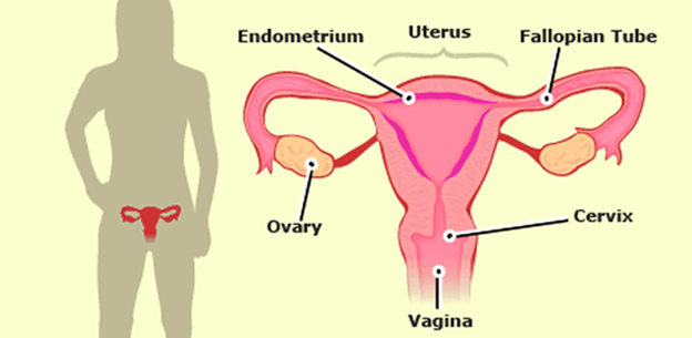 Reproductive system human reproductive organs and its functions human female reproductive system ccuart Image collections