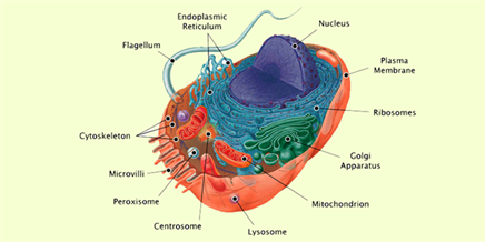 Animal cell structure and functions of animal cell organelles animal cell structure ccuart Images