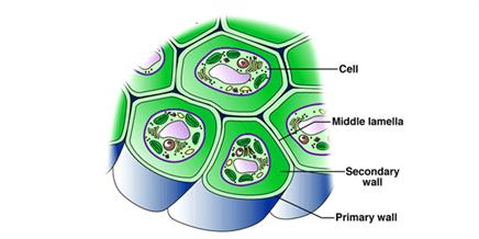 Prokaryotic cell wall