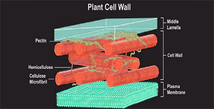 Cell wall components function of cell wall plant cell wall the secondary cell wall consists of both the cellulose and a lignin as the strong material lignin helps in strengthening the wall and provides a ccuart Image collections