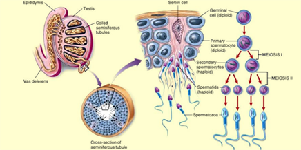 Spermatogenesis the purpose and process of spermatogenesis spermatogenesis ccuart Image collections