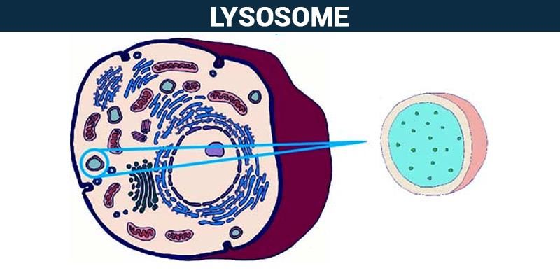 Lysosomes structure and function of lysosomes in a cell lysosomes ccuart Choice Image