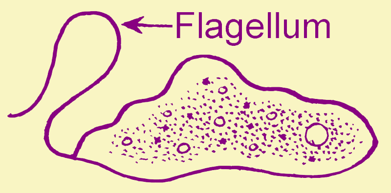flagella structure functions and its comparisions with cilia