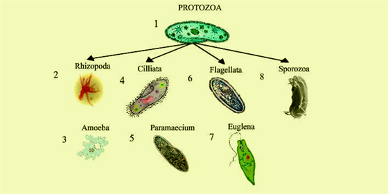 a description of protozoa which is a collective name for animal like single celled organisms Properties and classification of microorganisms the animal-like protists are single-celled in the soil, and in the bodies of other organisms all protozoa are.