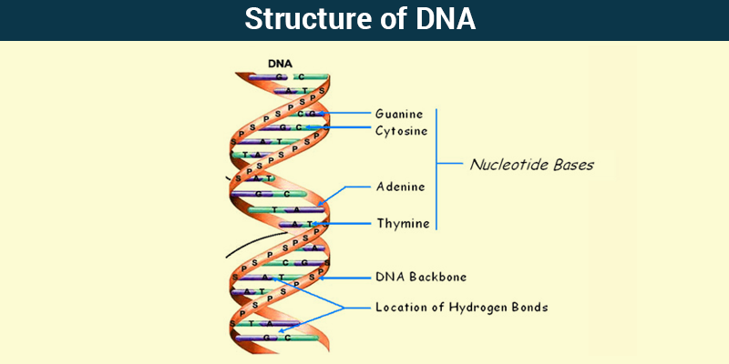 parts of dna diagram wiring diagram will be a thing u2022 rh exploreandmore co uk parts of dna diagram DNA Model Label Each Material and the Part of the DNA Molecule It Represents