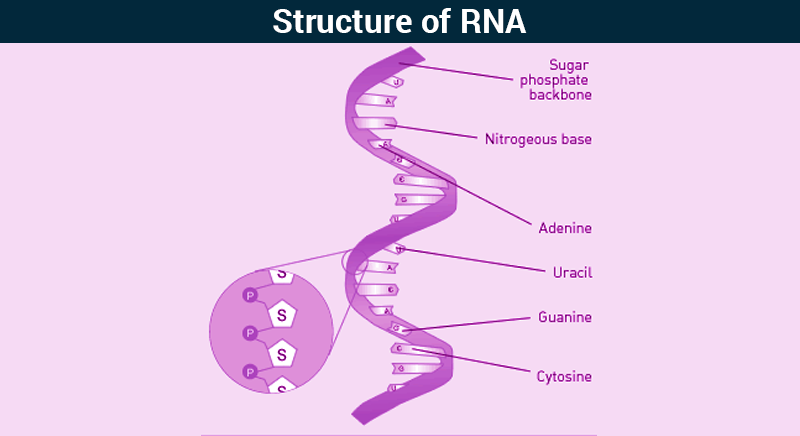 RNA - Structure of RNA | Types of RNA | Functions of RNA ...