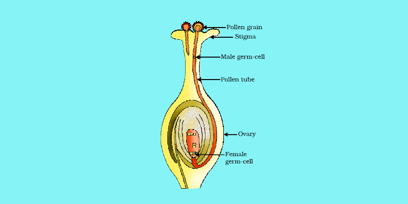 sexual reproduction in flower Flower structure and reproduction flowers are the plant's reproductive structures angiosperms are types of plants that bear fruits and flowers flowers are usually both male and female, and.