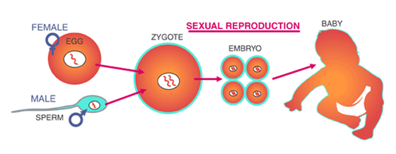 a look at the reproduction process in organisms Sexual reproduction is a biological process that creates a new organism by combining the genetic material of two organisms in a process that starts with meiosis, a specialized type of cell division each of two parent organisms contributes half of the offspring's genetic makeup by creating haploid gametes.