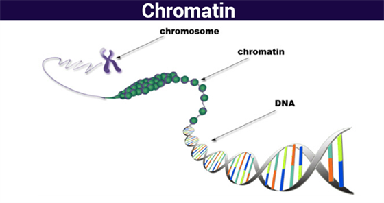 Chromatin structure function analyzing chromatin chromosomesbyjus the structure of a chromatin or the so called nucleosomes resembles the arrangement of string on beads when observed under the light microscope in its ccuart Image collections
