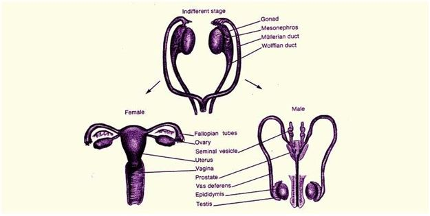 Gonads definition function hormones of gonads examplesbyjus gonads are the female and male reproductive organs testes are the male gonads in males and ovaries in females these organs of reproductive organs are voltagebd Gallery