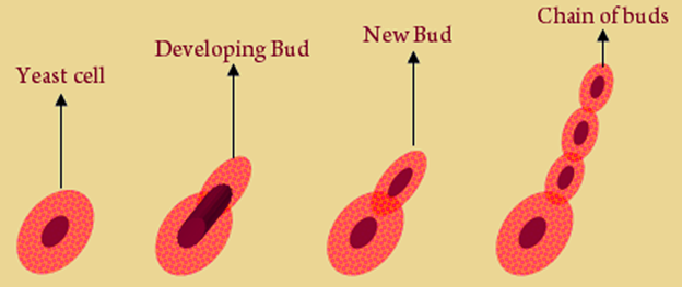 Budding - An Asexual Mode of Reproduction in Hydra and Yeast