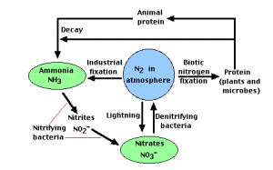 Nitrogen cycle introduction stages and its process nitrogen cycle ccuart Gallery