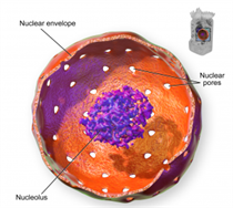 Nucleus Cell Organelles