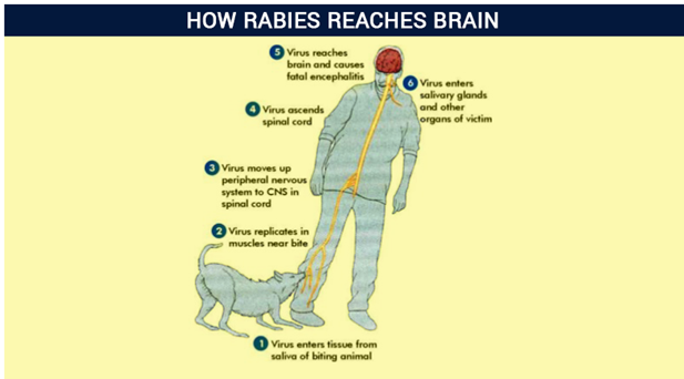 the causes prevention and symptoms of rabies How can the answer be improved.