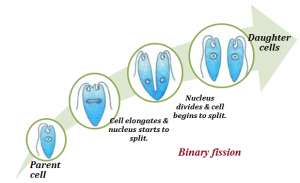 Fission is an asexual process