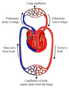 Human circulatory system blood blood vessels heart and lymph blood circulation human circulatory system double circulation ccuart Images