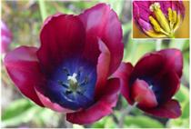 Hypogynous flower