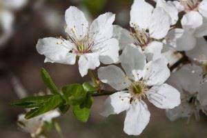 Perigynous flower