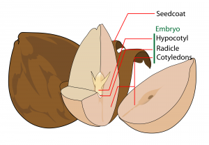 Dicotyledonous Seed