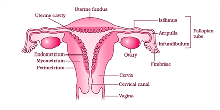 Sexual Reproduction Male And Female Reproductive System Organs