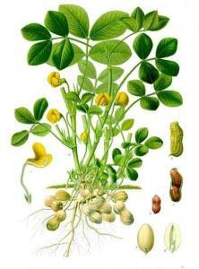Fabaceae plant