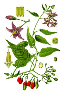 Solanaceae plant