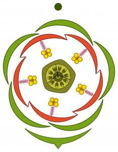 Liliaceae floral diagram