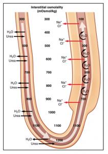 Countercurrent mechanism in loop of Henle