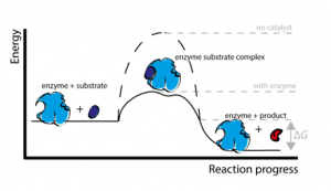 Enzymes action