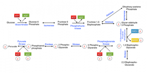 Pathway of Glycolysis
