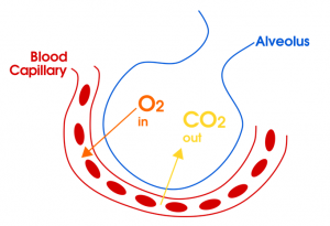 Transport of Oxygen and Carbon dioxide during Respiration