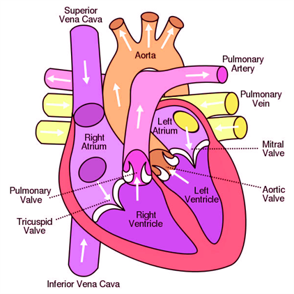 Important biology diagrams from all chapters for cbse board exams human brain ccuart Images