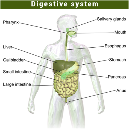 Important science diagrams from all chapters for cbse class 9 digestive system ccuart Gallery