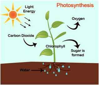 the role of photosynthesis and respiration There is a relationship between photosynthesis and cellular respiration   centered on the interconnection of biogeochemical cycles and their possible  roles in a.